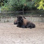 High Park, mini ZOO, bison